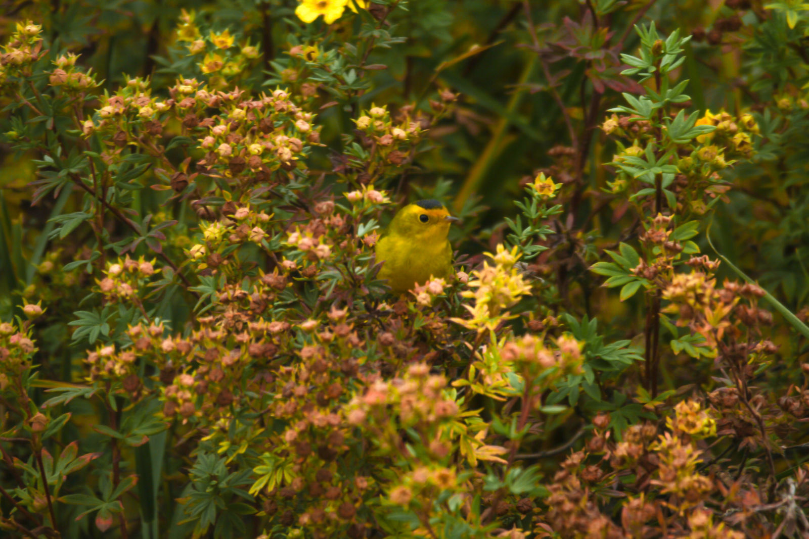 Yellow Warbler, near Salmon Lake
